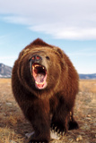 Angry Grizzly Bear Photographic Print by  DLILLC