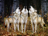 Howling Wolves Photographic Print by  DLILLC