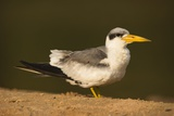 Large-Billed Tern Photographic Print by Joe McDonald