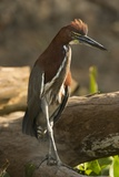 Rufescent Tiger Heron Photographic Print by Joe McDonald