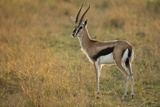 Thompson's Gazelle Photographic Print by Joe McDonald