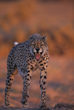 Cheetah Growling Lámina fotográfica por DLILLC