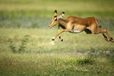 A Leaping Impala Photographic Print by Richard Du Toit