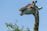 Giraffe Feeding, Chobe National Park, Botswana Photographic Print by Paul Souders