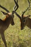 Impala Fighting Papier Photo par Mary Ann McDonald