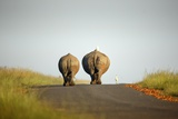 White Rhinos Walking on Road, Rietvlei Nature Reserve Fotografisk tryk af Richard Du Toit