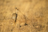 Gunther's Dik-Dik Photographic Print by Joe McDonald