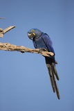 Hyacinth Macaw Photographic Print by Joe McDonald
