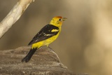 Western Tanager Male Photographic Print by Joe McDonald