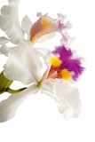 Cattleya Ibrid 3 Photographic Print by Fabio Petroni