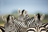 A Trio of Zebras Photographic Print by Richard Du Toit