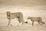 Cheetah and Cub Photographic Print by Richard Du Toit