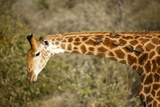 Giraffe with Oxpeckers Photographic Print by Richard Du Toit