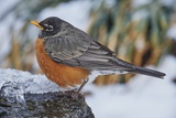 American Robin Photographic Print by Gary Carter
