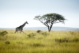 Giraffe and Acacia Tree Photographic Print by Richard Du Toit