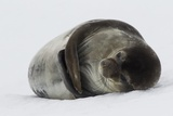 Weddell Seal Photographic Print by Joe McDonald