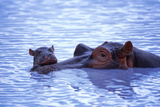 Adult and Baby Hippos in Water Photographic Print by  DLILLC