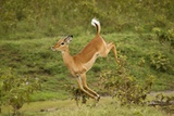 Impala Photographic Print by Mary Ann McDonald
