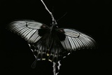 Papilio Lowi (Great Yellow Swallowtail, Asian Swallowtail) Photographic Print by Paul Starosta