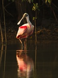 Roseate Spoonbill Photographic Print by Joe McDonald