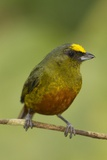 Olive-Backed Euphonia Photographic Print by Mary Ann McDonald
