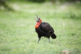 A Ground Hornbill Eats a Frog Photographic Print by Richard Du Toit