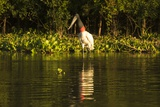 Jabiru Stork Photographic Print by Joe McDonald