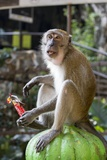 Long-Tailed Macaque with Candy Bar at Batu Caves, Kuala Lumpur, Malaysia Photographic Print by Paul Souders
