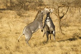 Grevy's Zebra Fighting Photographic Print by Mary Ann McDonald