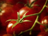 Tomatoes on the Vine Photographic Print by Steve Lupton