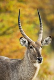 Waterbuck Portrait Photographic Print by Richard Du Toit