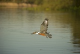Ringed Kingfisher Photographic Print by Joe McDonald