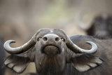 Buffalo Cow Nportrait Photographic Print by Richard Du Toit