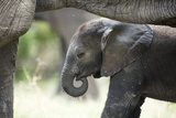 Bébé éléphant Reproduction photographique par Richard Du Toit
