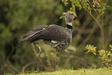 Southern Screamer Photographic Print by Joe McDonald