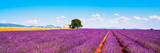 Lavender Flowers Blooming Field, House and Tree. Provence, Franc Photographic Print by  stevanzz