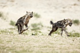 Young Spotted Hyenas Photographic Print by Richard Du Toit