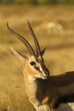 Thompson's Gazelle Photographic Print by Joe McDonald