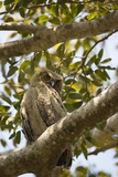 Great Horned Owl Photographic Print by Joe McDonald