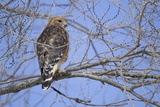 Red-Shouldered Hawk Photographic Print by Joe McDonald