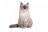 Ragdoll Cat Photographic Print by Fabio Petroni