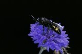 Scolia Hirta (Scoliid Wasp) Photographic Print by Paul Starosta