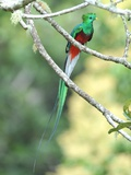 Resplendant Quetzal Bird , Costa Rica, Central America Photographic Print by  hotshotsworldwide