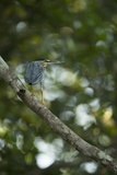 Striated Heron Photographic Print by Joe McDonald
