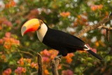 Toco Toucan Photographic Print by Joe McDonald