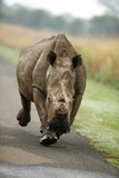 White Rhino Cow Charging Photographic Print by Richard Du Toit