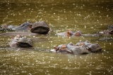 Hippos in the Rain Photographic Print by Richard Du Toit