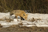 Red Fox Photographic Print by Joe McDonald