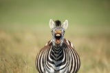 A Yawning Zebra Reproduction photographique par Richard Du Toit