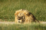 Male Lion Portrai Photographic Print by Richard Du Toit